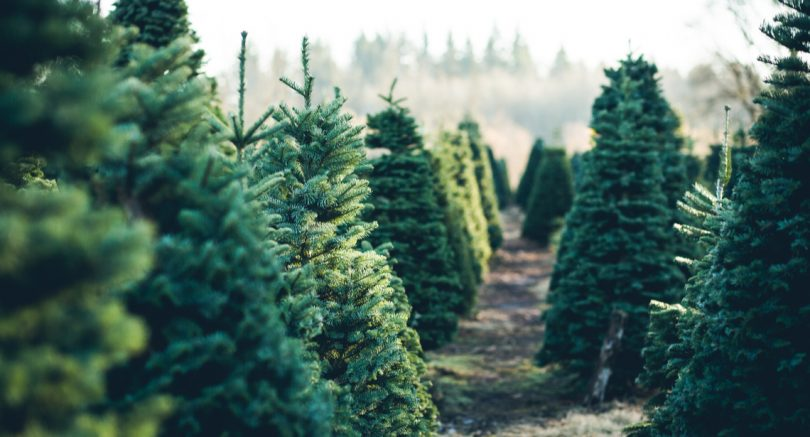 3 Ways to Find A Real Christmas Tree in Calgary - Vern